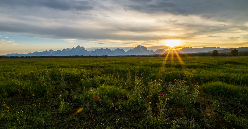 Musk thistle in front of the Tetons
