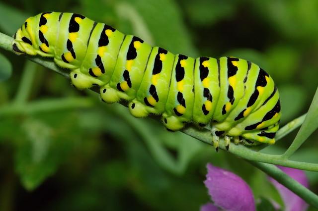 Eastern Black Swallowtaili Caterpillar DSC_0657-4©