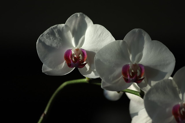 Orchid blooming in the morning sun