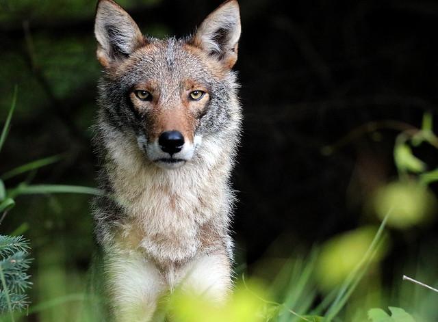 Eastern Coyote - Eye Contact