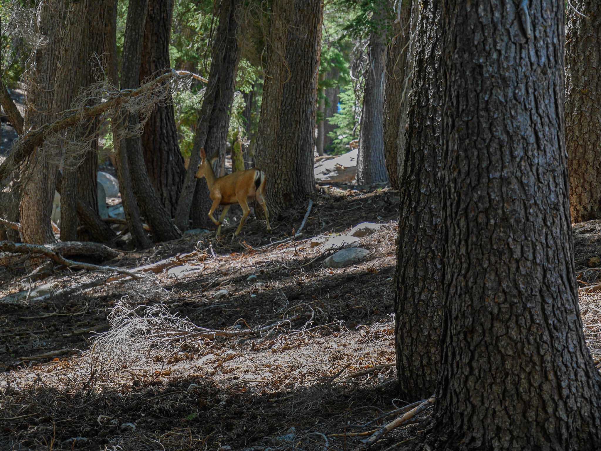 Deer near the PCT