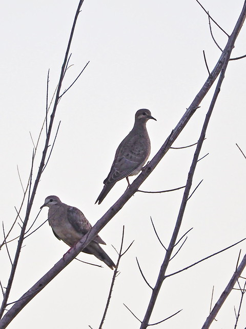 Mourning Doves 01-20200730