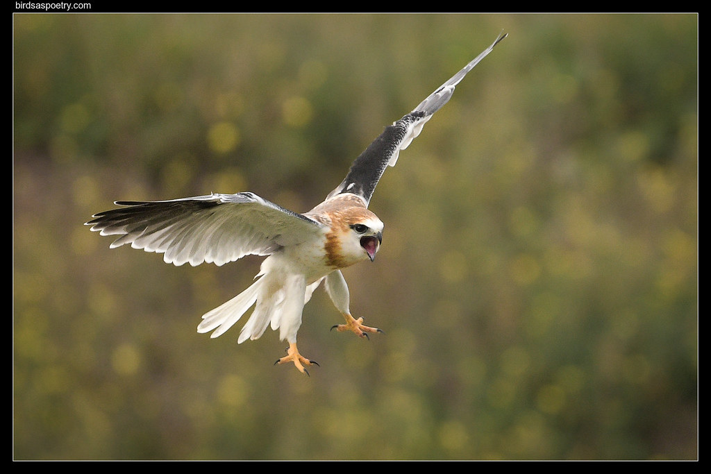 Black-shouldered Kite: Gaining Balance