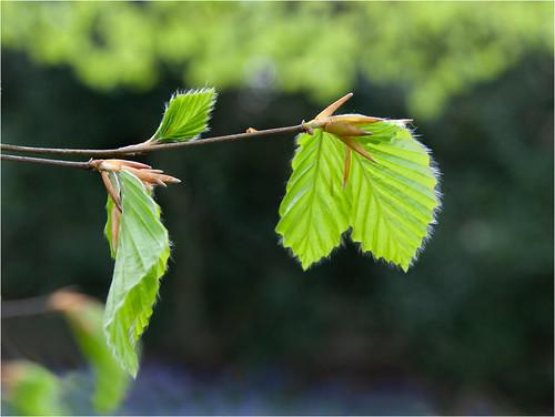 New hazel leaves