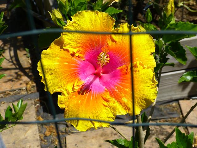 hibiscus 7 30 20