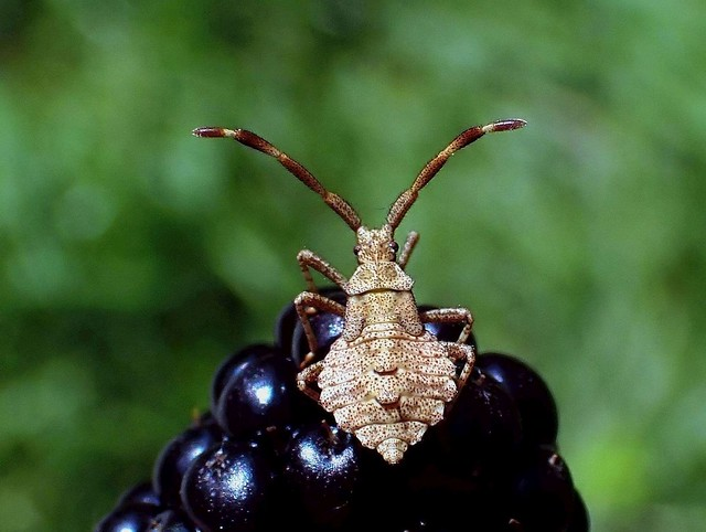 Docking on Black. Coreus marginatus, True or Dock Bug, on Blackberry, Rubus fruticosus, Gaasperplas, Amsterdam, The Netherlands