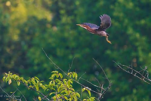 meadowlark virginia action background bird female flight greenheron heron summer sunrise wildlife