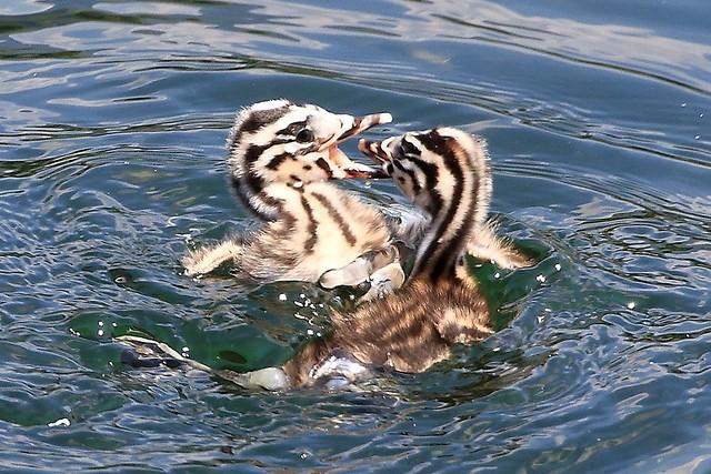 water games (babies Podiceps cristatus)