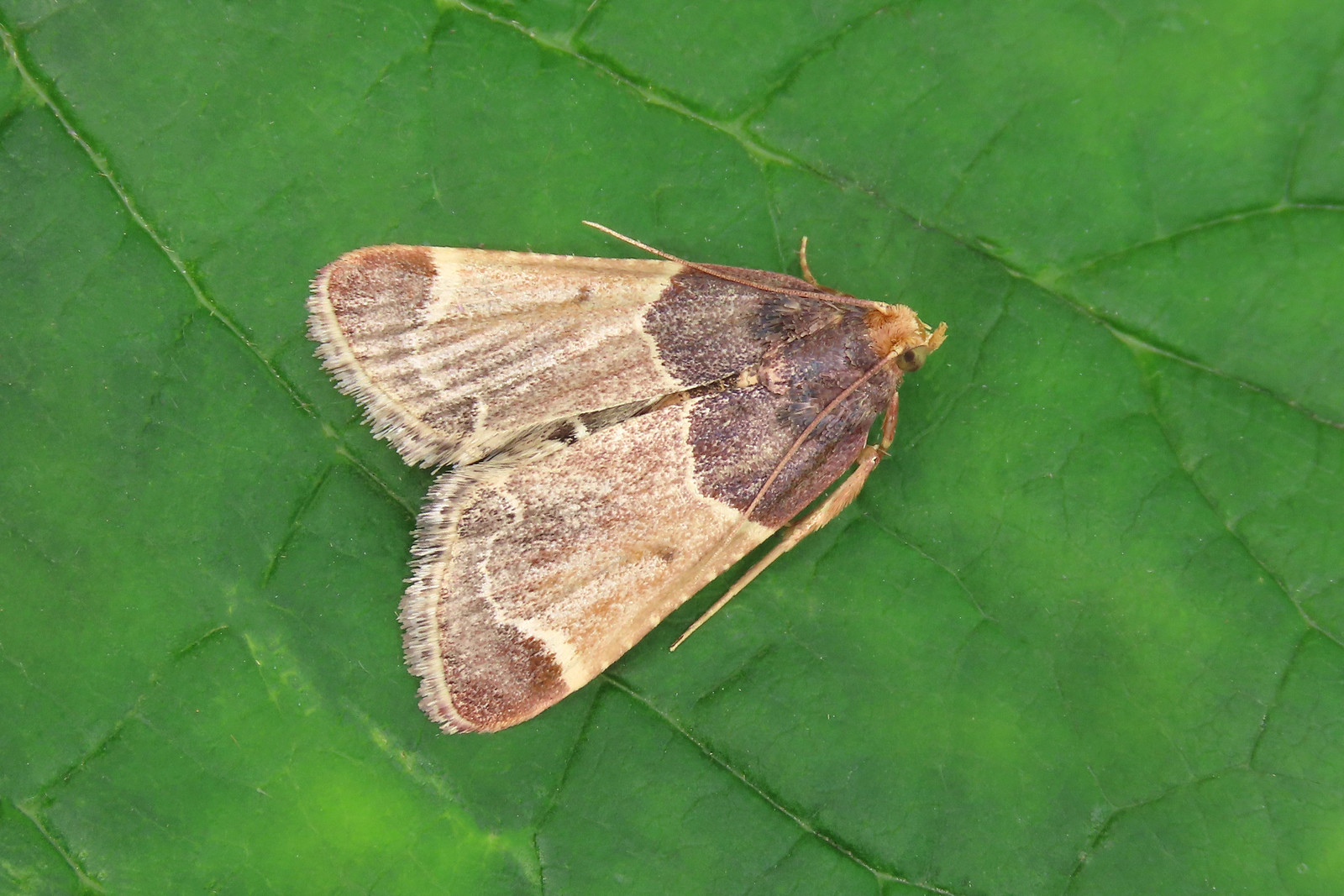 62.072 Meal Moth - Pyralis farinalis