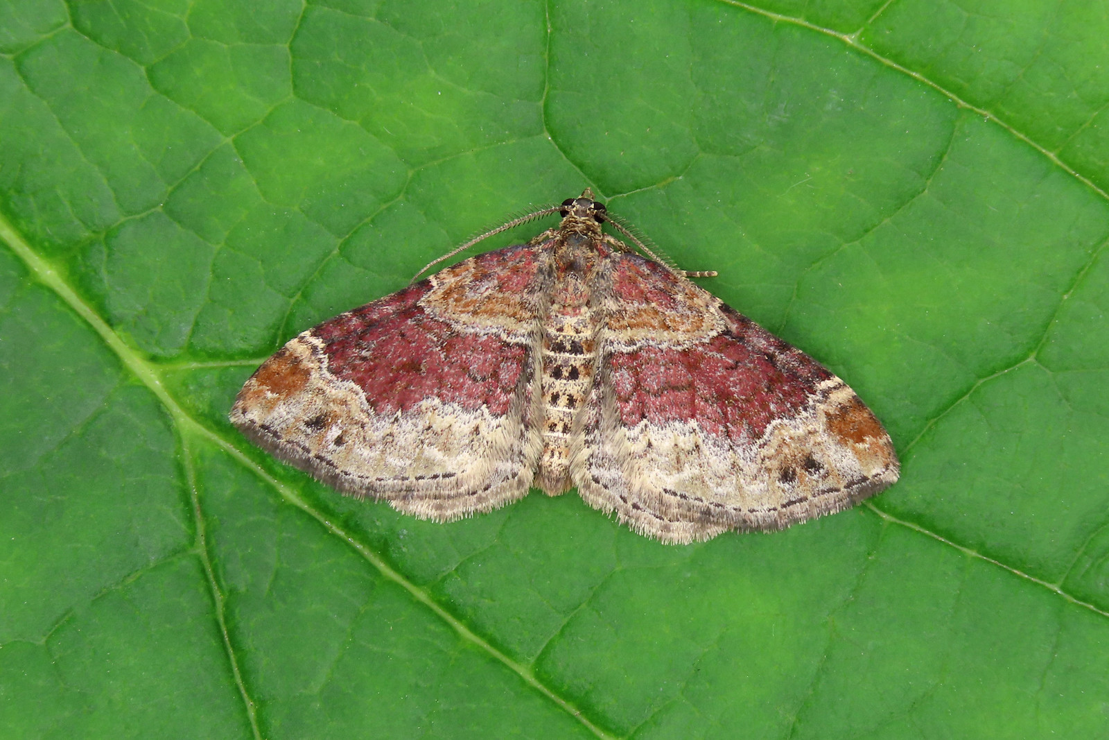 70.051 Red Twin-spot Carpet - Xanthorhoe spadicearia
