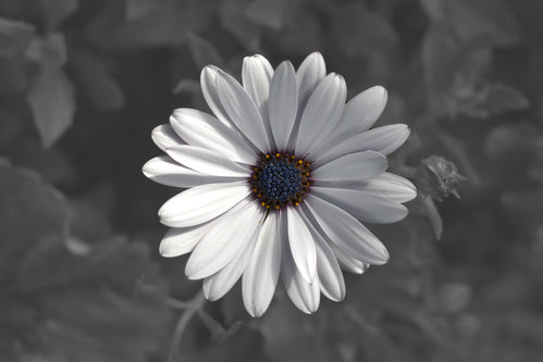 White-Osteospermum-BW | by steevbeech