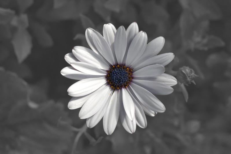 White-Osteospermum-BW