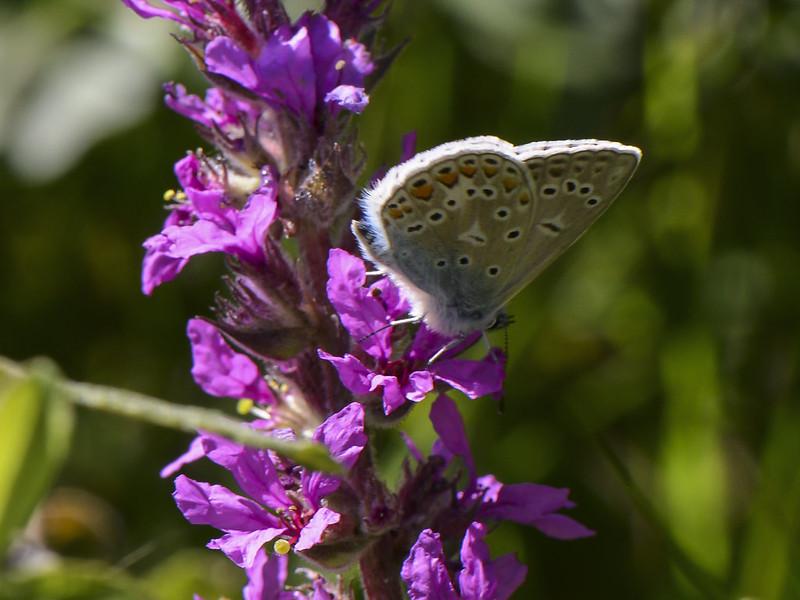 Icarusblauwtje (Polyommatus icarus)-620_0481