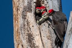 Pileated Woodpecker chicks  (由  davezimmerman906