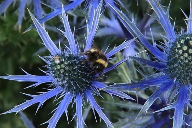 Bumblebee on Sea Holly Dunlaoghaire Dublin