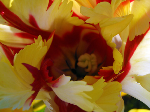 red and yellow Flame Tulip