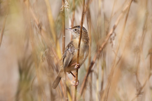 Fuínha dos Juncos / Fan-tailed warbler (Cisticola juncidis)