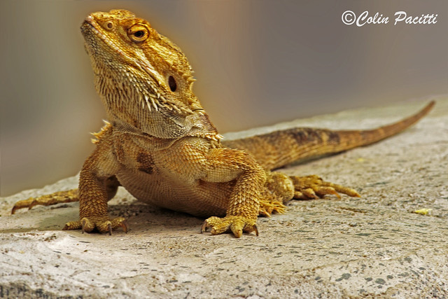central bearded dragon (pogona vitticeps ) ....... Explored