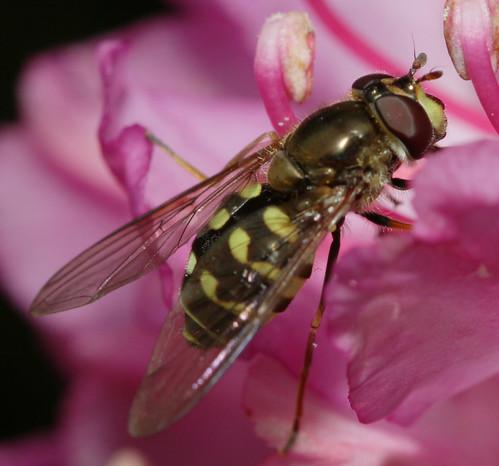 insect diptera fly syrphidae syrphinae dasysyrphus northcarolina roanmountain canonef100mmf28macrousm inaturalist dasysyrphusintrudens