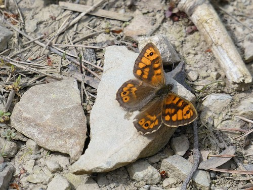 Small Copper Butterfly | by trev.pix