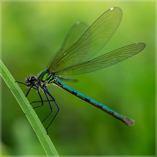 Calopterygidae_93290