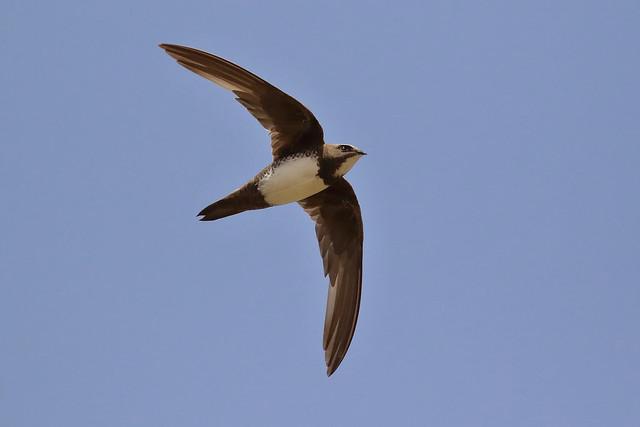 Andorinhão real - Apus melba - Alpine swift