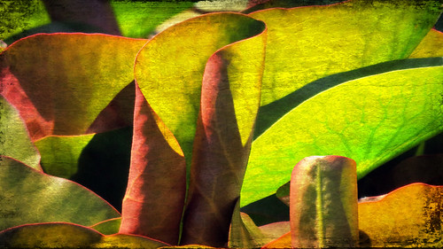 Red-tinged water lily pads for pink waterlilies run through the photo app Pixlromatic