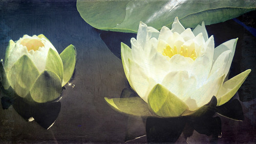 White water lily run through the photo app Stackables