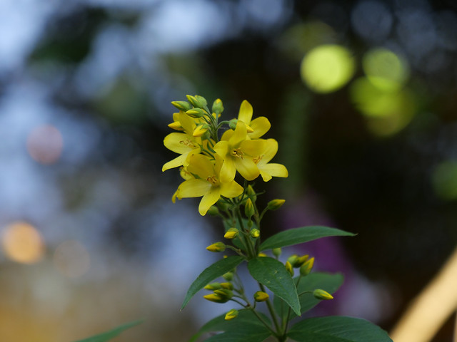 Yellow Loosestrife.