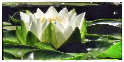 White waterlily run through the photo app Snapseed