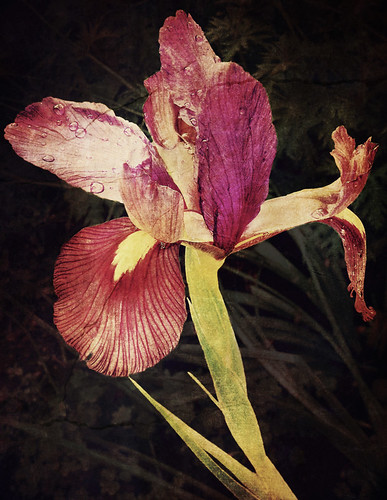 Purple Flag Iris run through the photo app Stackables with the Cracked Sepia formula