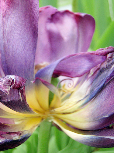Dying purple tulip