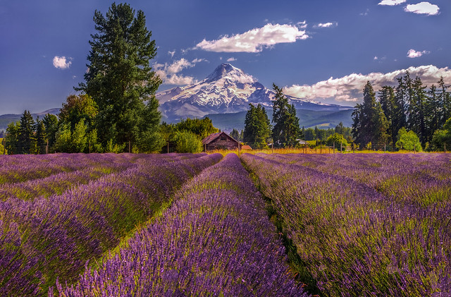 Lavender Valley