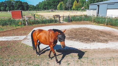 paard met vliegenooglapje