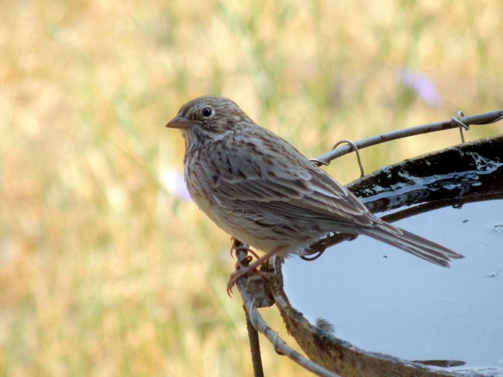 P8283947...vesper sparrow