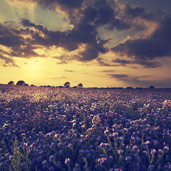 Bugloss Sunset