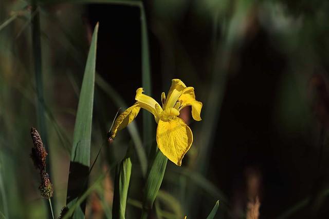 Yellow flag iris, England