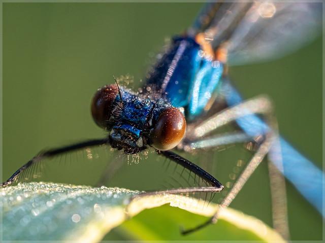 Calopterygidae_95253