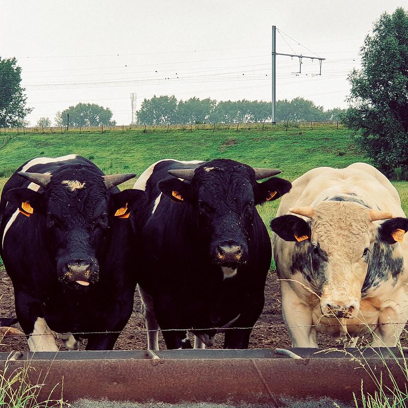 er waren eigenlijk 4 koebeesten maar de laatste wilde niet op de foto
