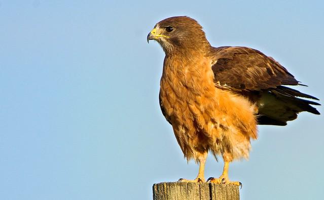 Swainson's Hawk on a Pole