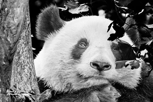 Giant Panda (B&W) at the Zoo in Vienna, Austria