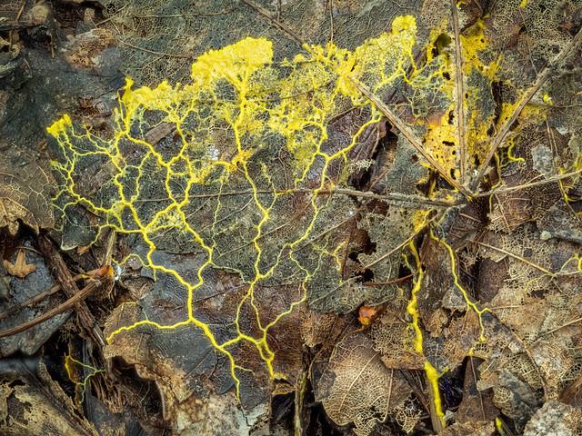 Gelbe Lohblüte (2)