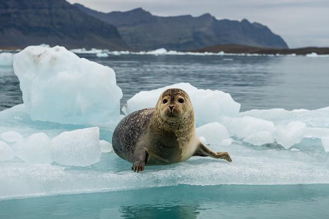 harbour seal - Jökulsárlón Glacier Lagoon - Iceland