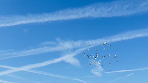vlucht duiven