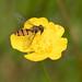 Episyrphus balteatus Hoverfly-08271