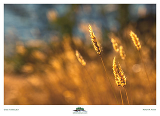 Grass In Setting Sun | by Richard R. Powell