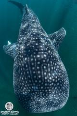 Whaleshark of Chiba, Japan