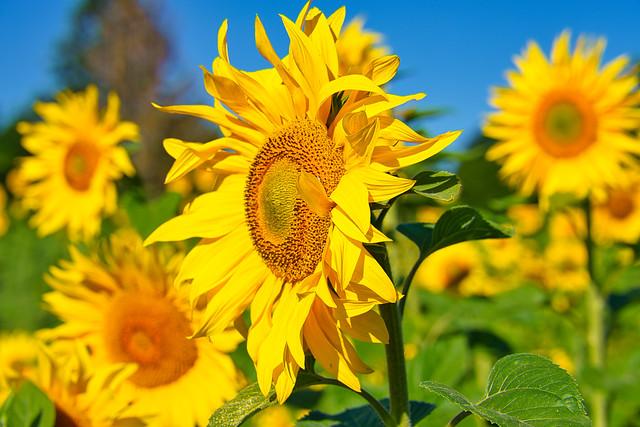 Goldene Blüten