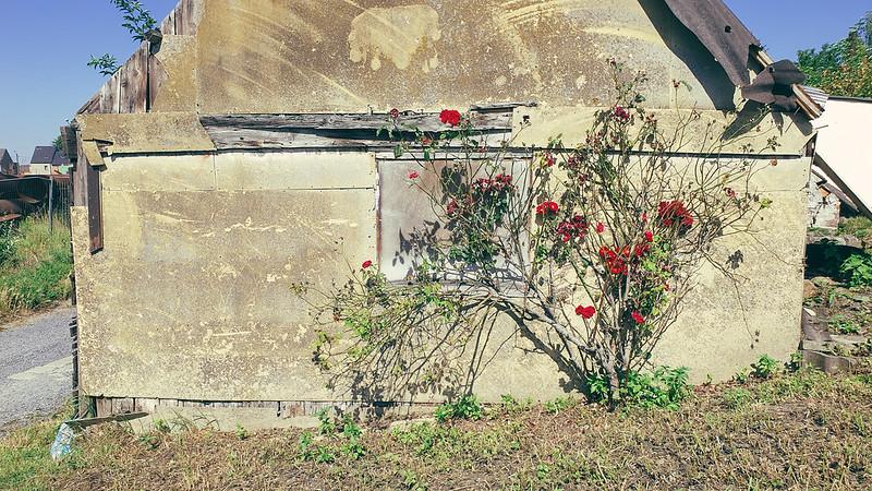Baasroode rozen