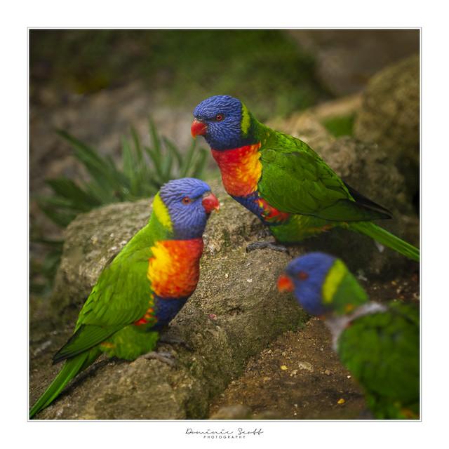 Rainbow Lorikeets - Aussie Invaders!